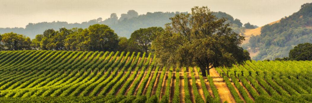 Panorama of a Vineyard with Oak Tree., Sonoma County, California, USA